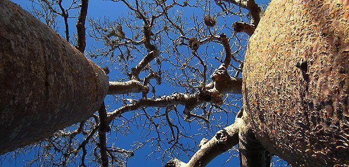 El baobab tiene muchas propiedades beneficiosas para la salud y en África se asocia a numerosas leyendas