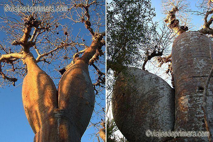 La pulpa de las semillas del baobab es rica en fibra, vitaminas C, y B, aminoácidos y minerales