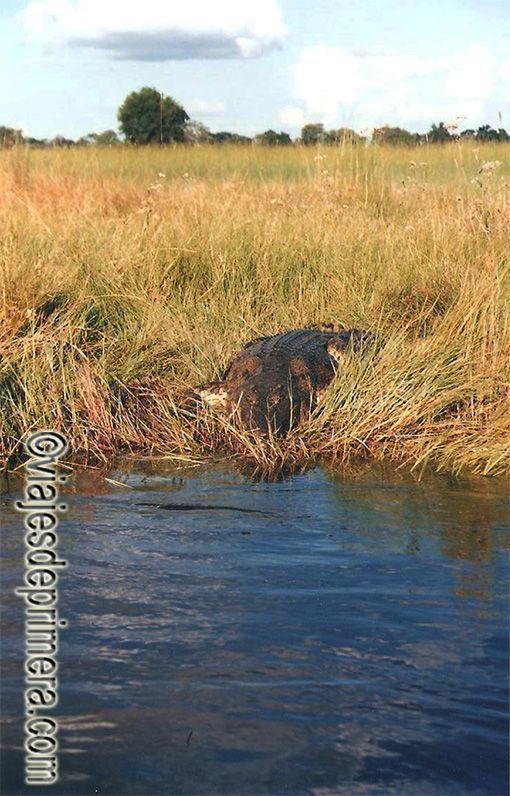 Un cocodrilo en una de las orillas del río Okavango,uno de los grandes atractivos naturales de Botswana
