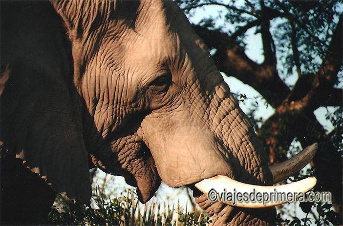 Elefante en Botswana