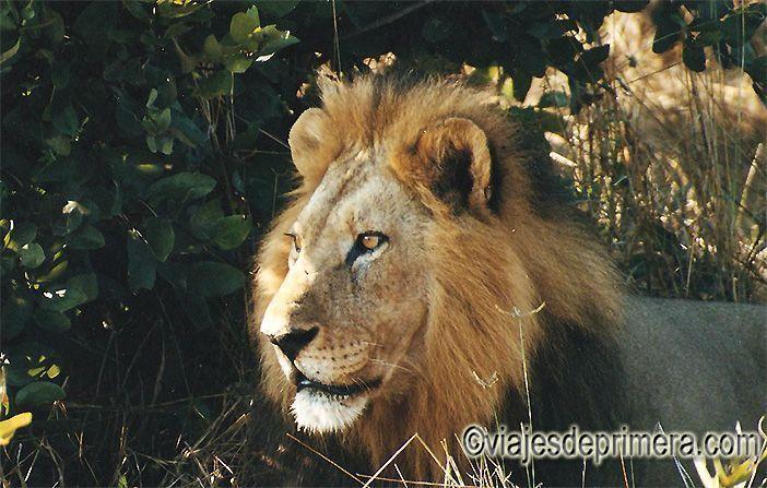 Un león en la sabana de Botswana