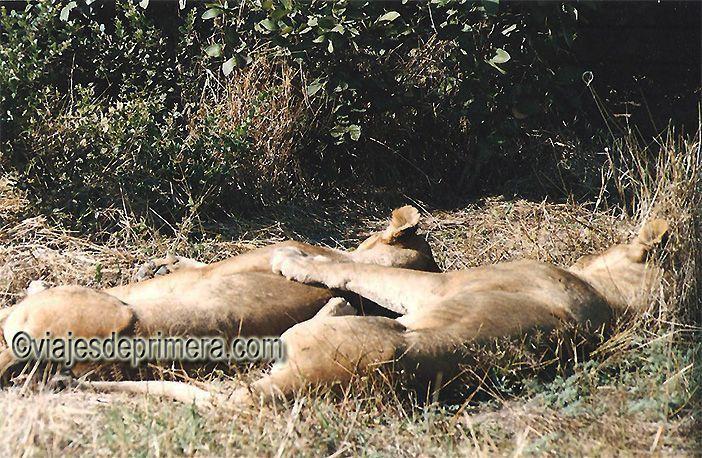 Siesta de leonas en la sabana de Botswana.