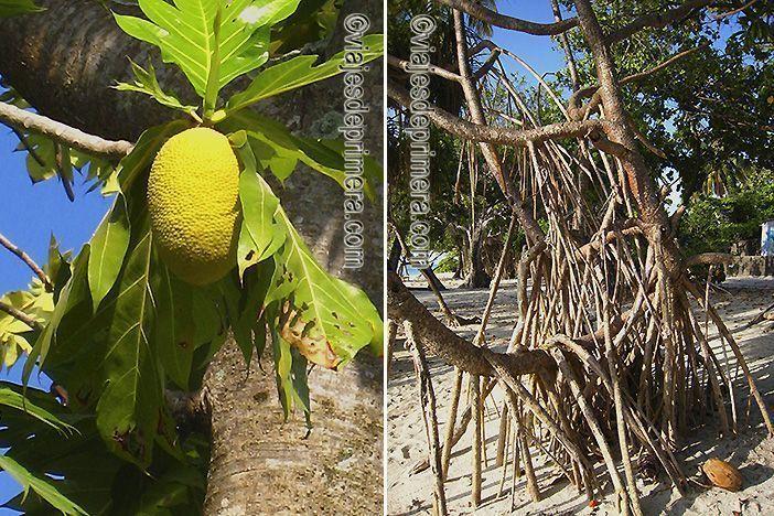 La fruta del pan o los banianos son algunas de las plantas más habituales en Maldivas, el país más plano del mundo