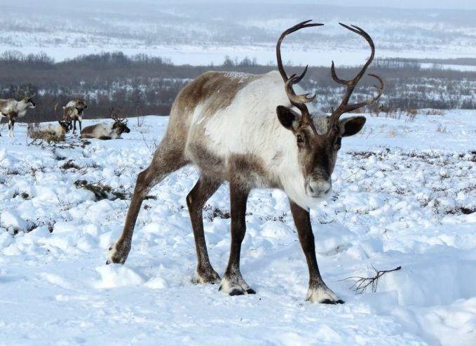 La taiga o la tundra del Norte de Europa es donde viven los renos a día de hoy.