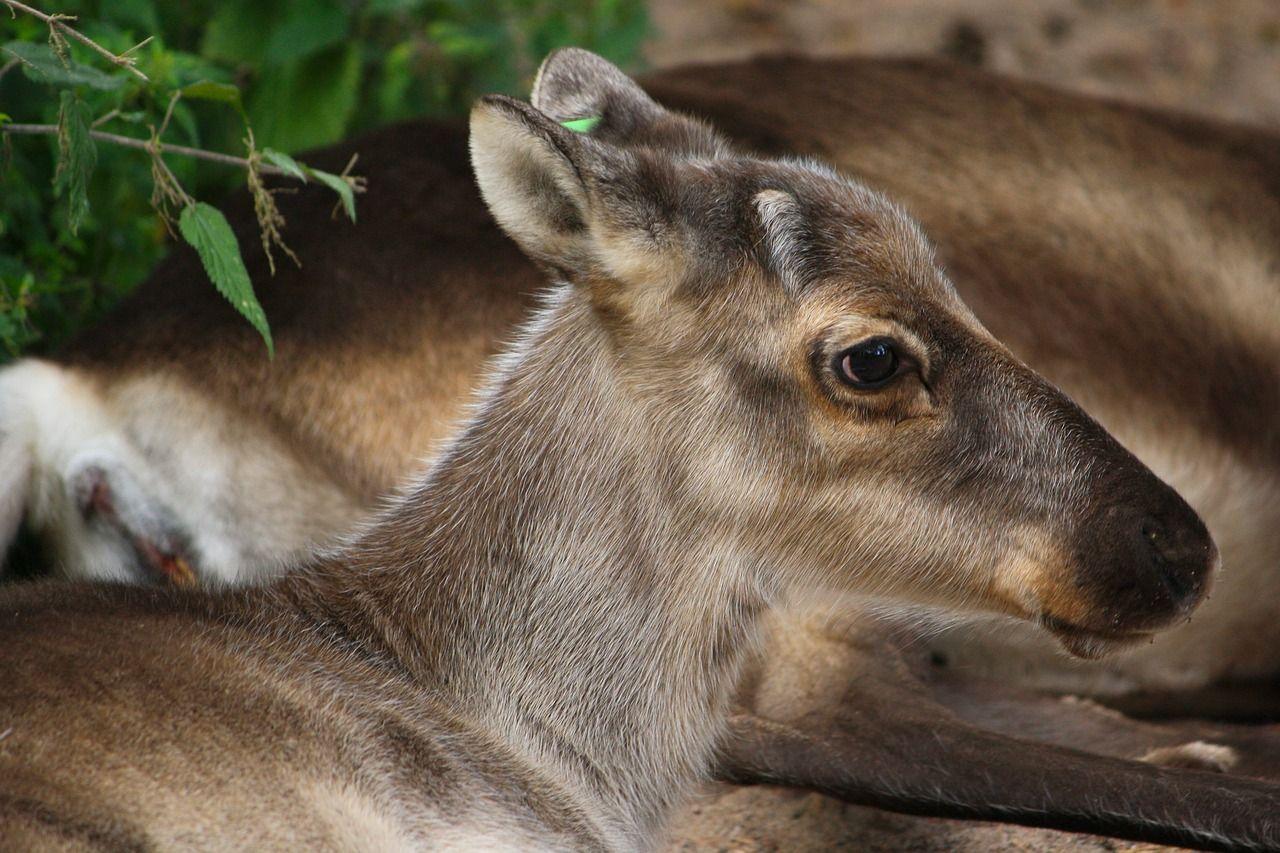 Actualmente los renos viven en el norte de Europa, en la taiga o la tundra