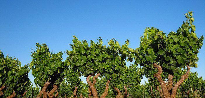 El Mar de Viñas de Aldeanueva de Ebro vertebra la Feria Entreviñas cada primer fin de semana de junio desde hace 11 años