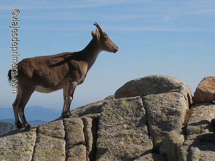 La cabra montés es uno de los endemismos animales de la Sierra de Gredos