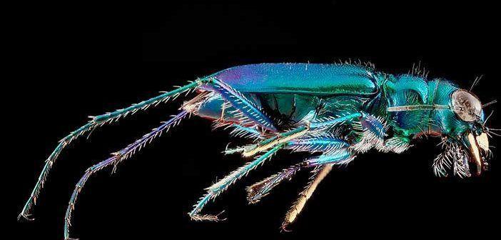 la velocidad del escarabajo tigre es de 2,5 metros por segundo
