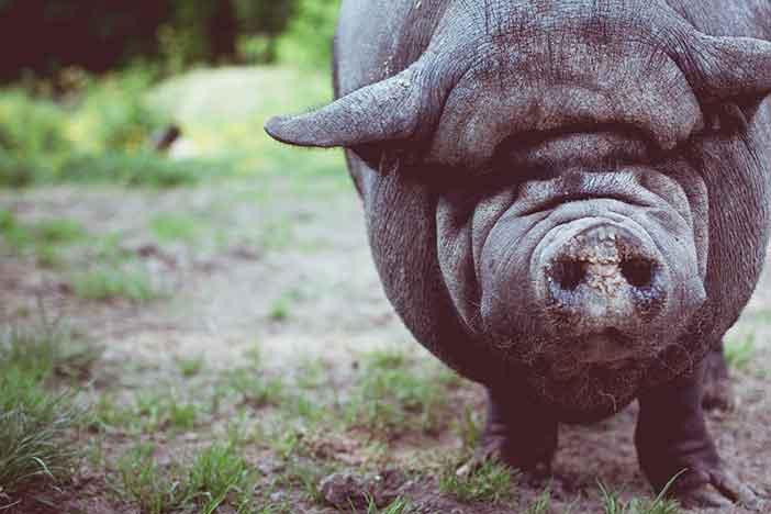 Por qué crían cerdos gigantes en China